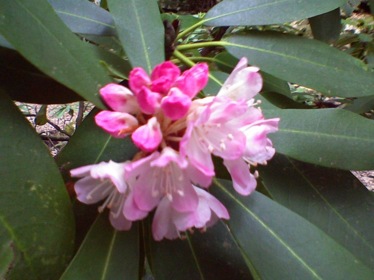 Mountain Rhododendren