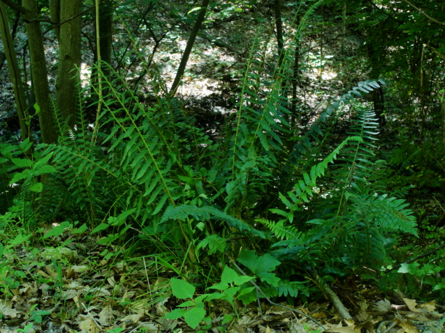 Fern In the Woods