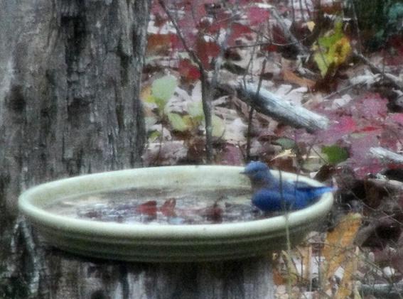 Bluebird In Autumn, (c) 2011 Joni Beach.