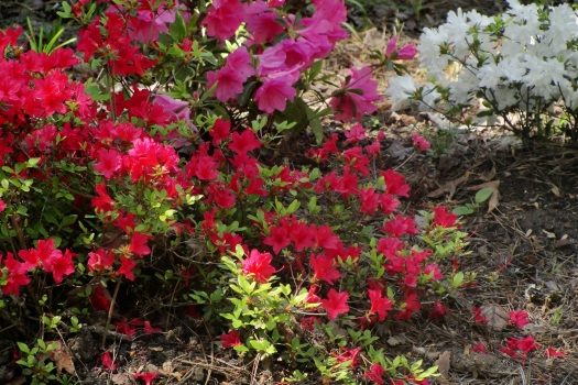 North Carolina Azaleas, (c) 2012, Joni Beach.