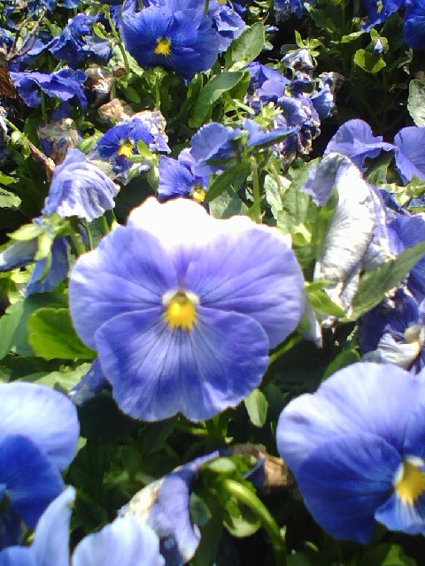 Pansies'Blue