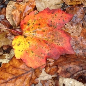 photo (1)FallLeaves3